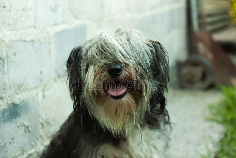 Πορτρέτο ενός γραπτού χνουδωτού σκυλιού Χαριτωμένα αστεία ζώα pets στοκ εικόνα