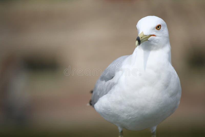 πορτρέτο ενός δαχτυλίδι-τιμολογημένου seagull πουλιού στοκ εικόνα με δικαίωμα ελεύθερης χρήσης