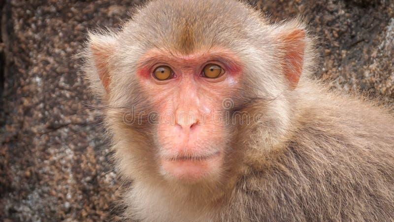 Πορτρέτο ενός ενήλικου macaque σε ένα κλίμα ενός καθαρού βράχου στοκ φωτογραφίες με δικαίωμα ελεύθερης χρήσης