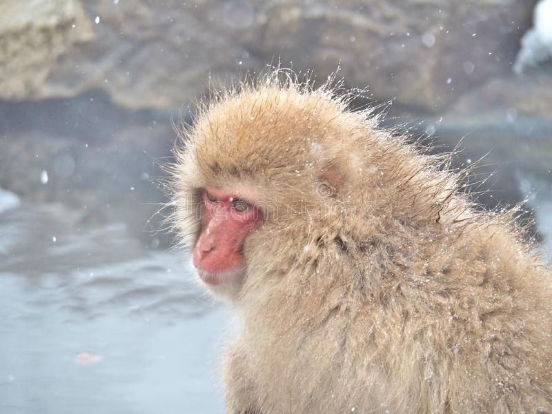Πορτρέτο ενός ιαπωνικού πιθήκου χιονιού macaque την καυτή άνοιξη στοκ εικόνα
