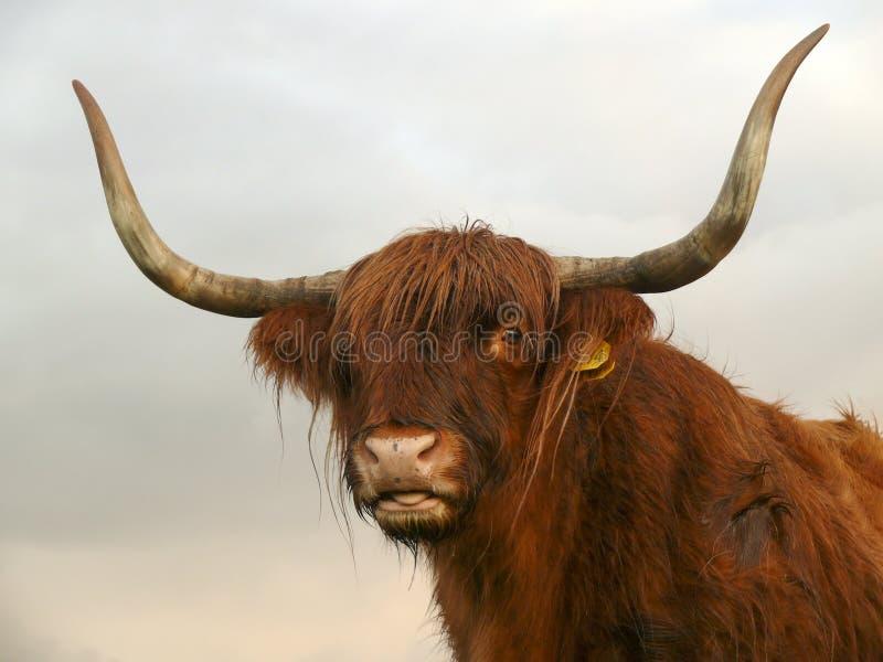 Πορτρέτο ενός κόκκινου βοδιού Highland της Σκωτίας, έξω από τη γλώσσα του, αγελάδα με μακριά κέρατα σε μια βροχερή μέρα στοκ φωτογραφίες με δικαίωμα ελεύθερης χρήσης