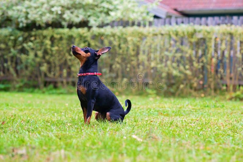 Πορτρέτο ενός κόκκινου μικροσκοπικού σκυλιού pinscher στοκ εικόνα