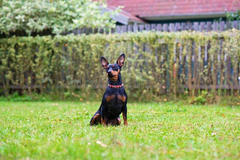 Πορτρέτο ενός κόκκινου μικροσκοπικού σκυλιού pinscher στοκ εικόνες
