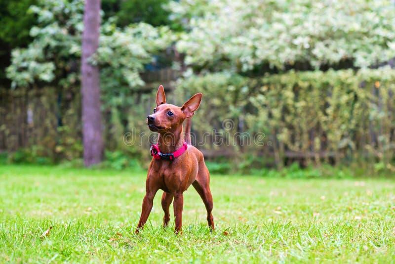 Πορτρέτο ενός κόκκινου μικροσκοπικού σκυλιού pinscher στοκ φωτογραφία με δικαίωμα ελεύθερης χρήσης