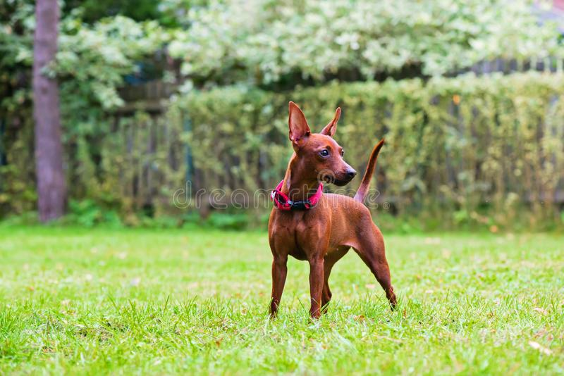 Πορτρέτο ενός κόκκινου μικροσκοπικού σκυλιού pinscher στοκ φωτογραφίες