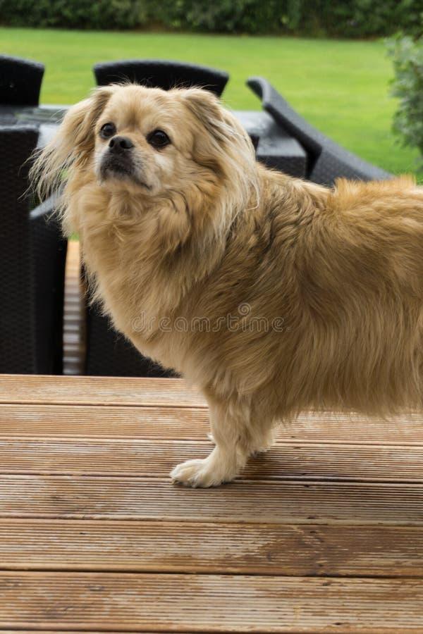 Πορτρέτο ενός μικρού χαριτωμένου σκυλιού στοκ εικόνες με δικαίωμα ελεύθερης χρήσης