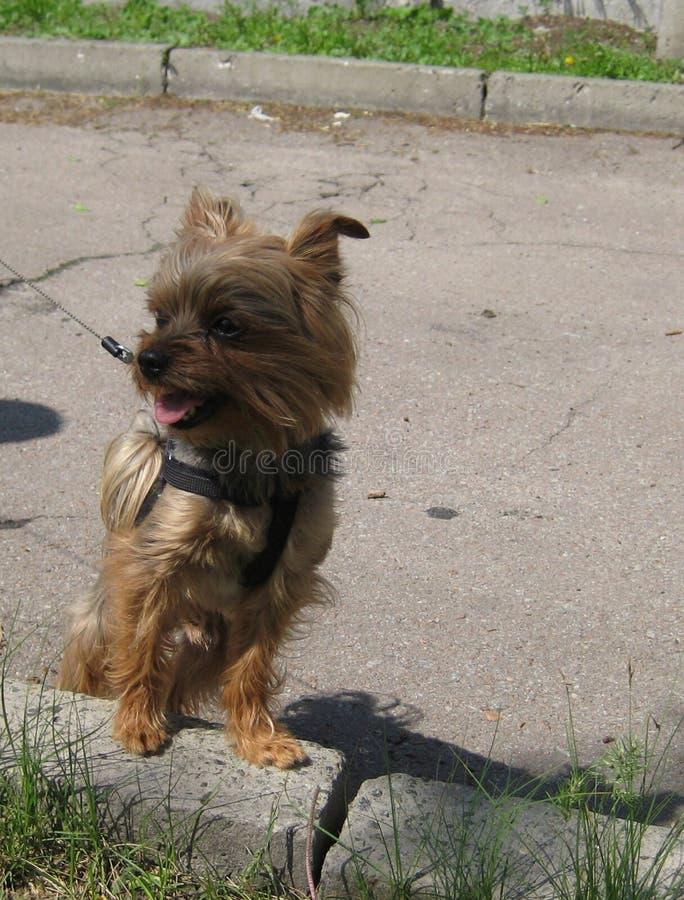 Πορτρέτο ενός μικρού όμορφου σκυλιού Υόρκη κατοικίδιων ζώων στοκ εικόνες