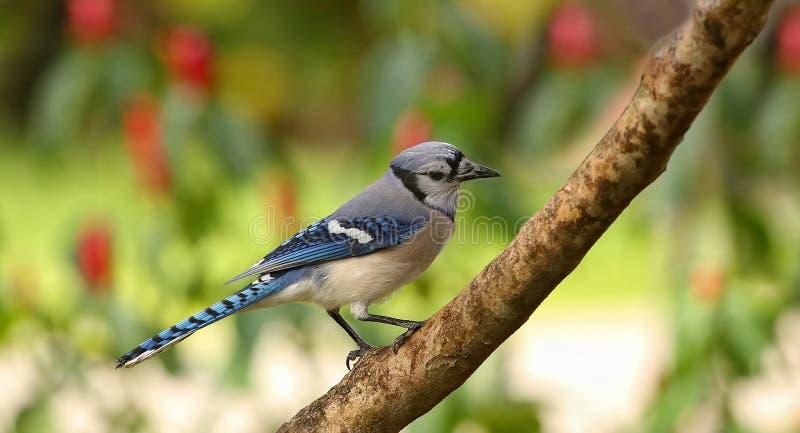 Πορτρέτο ενός μπλε jay στοκ εικόνες