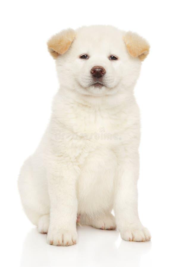 Πορτρέτο ενός νέου άσπρου ιαπωνικού κουταβιού inu Akita στοκ εικόνες
