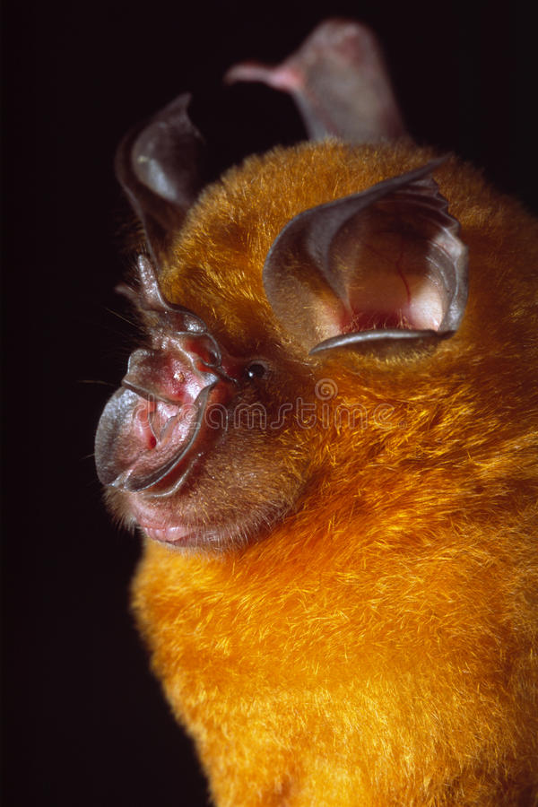 Πορτρέτο ενός πορτοκαλιού πεταλοειδούς ροπάλου στοκ φωτογραφία