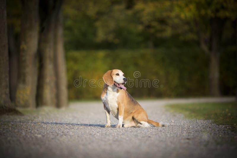 Πορτρέτο ενός σκυλιού λαγωνικών στοκ εικόνες
