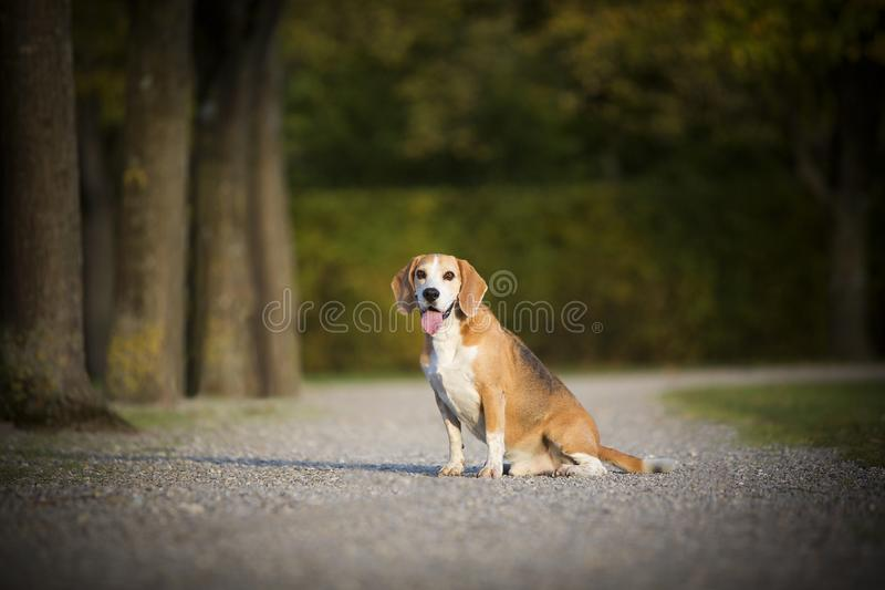 Πορτρέτο ενός σκυλιού λαγωνικών στοκ εικόνα με δικαίωμα ελεύθερης χρήσης