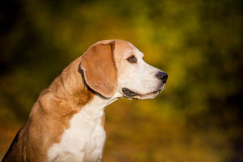 Πορτρέτο ενός σκυλιού λαγωνικών στοκ φωτογραφίες με δικαίωμα ελεύθερης χρήσης