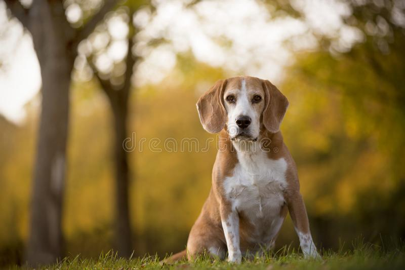 Πορτρέτο ενός σκυλιού λαγωνικών στοκ εικόνα