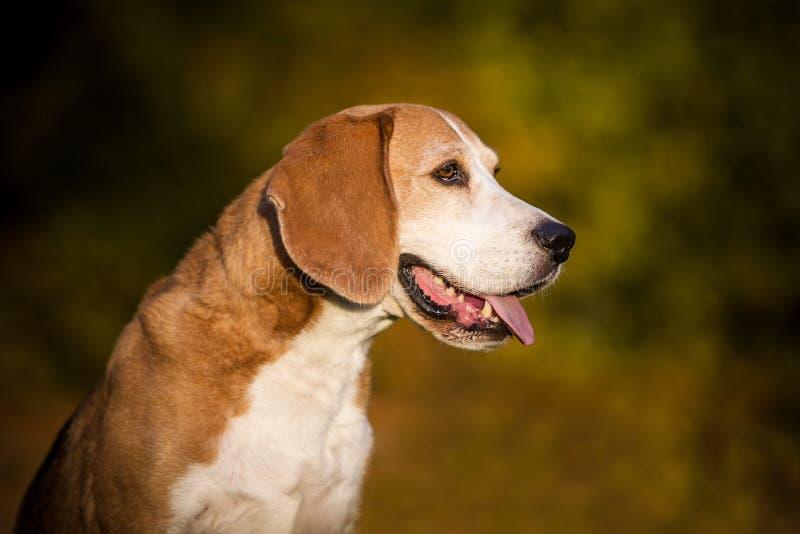 Πορτρέτο ενός σκυλιού λαγωνικών στοκ φωτογραφίες