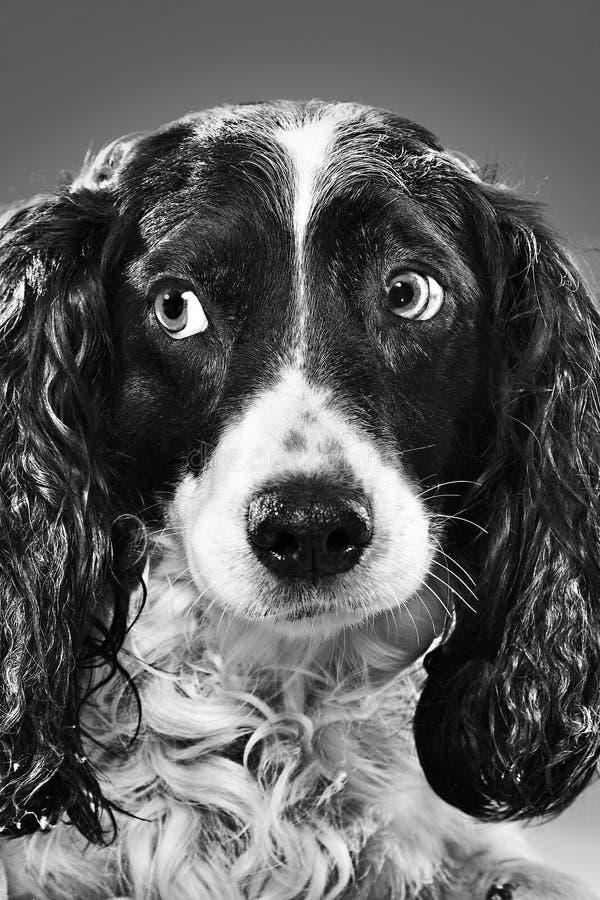 Πορτρέτο ενός σκυλιού B&W στοκ φωτογραφία με δικαίωμα ελεύθερης χρήσης
