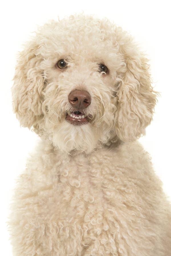 Πορτρέτο ενός σκυλιού labradoodle που εξετάζει τη κάμερα σε ένα άσπρο υπόβαθρο στοκ εικόνες
