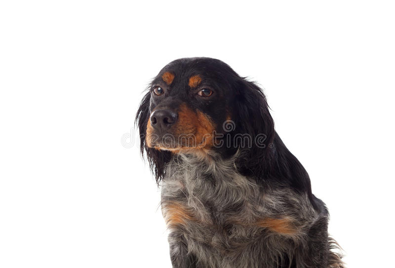 Πορτρέτο ενός σπανιέλ βρετονικά στοκ φωτογραφίες