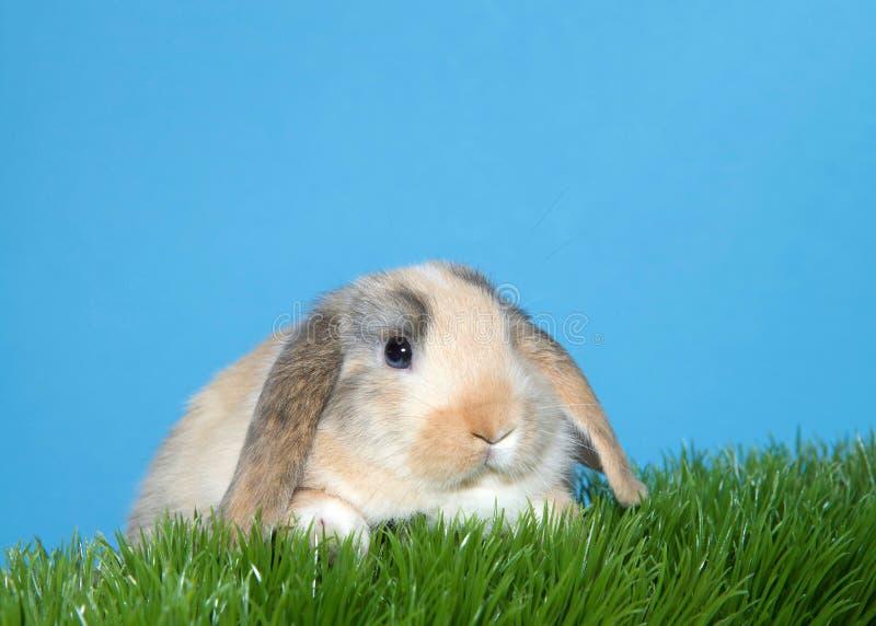 Πορτρέτο ενός χαριτωμένου αυταράς κουνελιού λαγουδάκι βαμβακερού υφάσματος στη χλόη στοκ φωτογραφίες