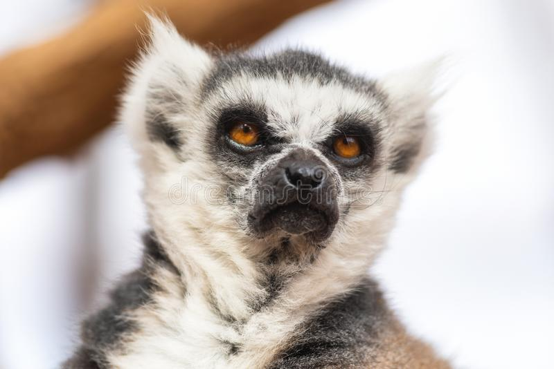 Πορτρέτο ενός χαριτωμένου παρακολουθημένου δαχτυλίδι κερκοπιθήκου, κερκοπίθηκος Catta στοκ φωτογραφίες με δικαίωμα ελεύθερης χρήσης