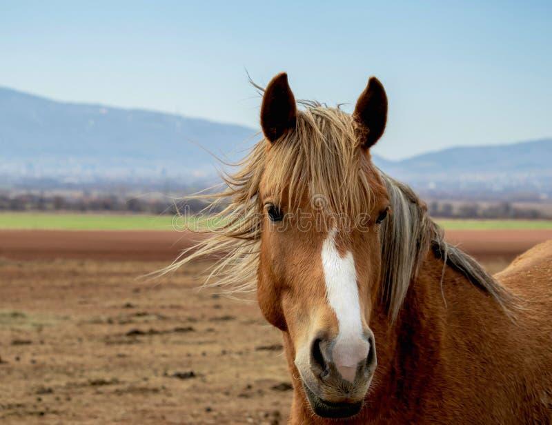 Πορτρέτο ενός όμορφου αλόγου με τα έξυπνα μάτια, ο λαμπρός Μάιν αλόγων που καταβρέχει στον αέρα διανυσματική απεικόνιση