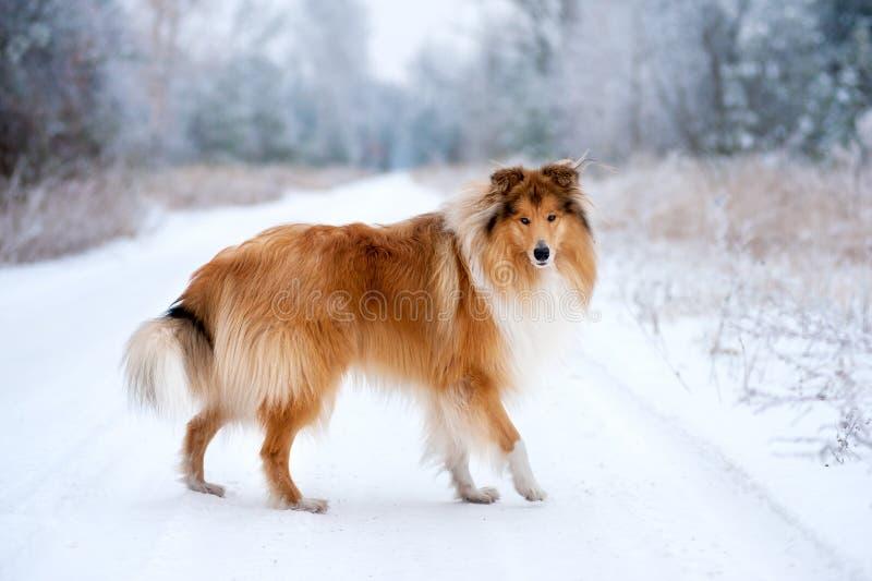 Πορτρέτο ενός όμορφου κόκκινου χνουδωτού κόλλεϊ σκυλιών στοκ εικόνα