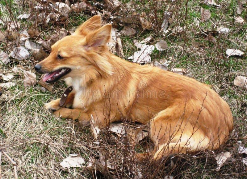πορτρέτο ενός όμορφου χαριτωμένου κόκκινου σκυλιού κατοικίδιων ζώων στοκ εικόνες με δικαίωμα ελεύθερης χρήσης