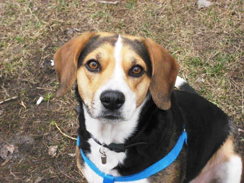 πορτρέτο ενός όμορφου χαριτωμένου σκυλιού λαγωνικών κατοικίδιων ζώων στοκ εικόνα με δικαίωμα ελεύθερης χρήσης