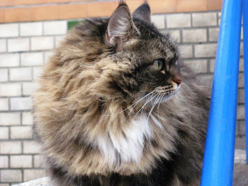πορτρέτο ενός όμορφου χνουδωτού κατοικίδιου ζώου γατών στοκ φωτογραφίες με δικαίωμα ελεύθερης χρήσης
