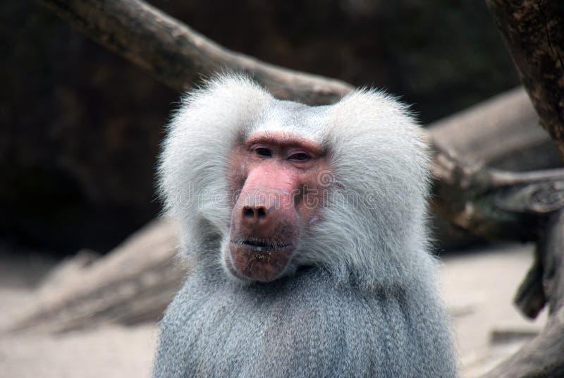 Πορτρέτο ενός baboon πιθήκου στοκ εικόνες