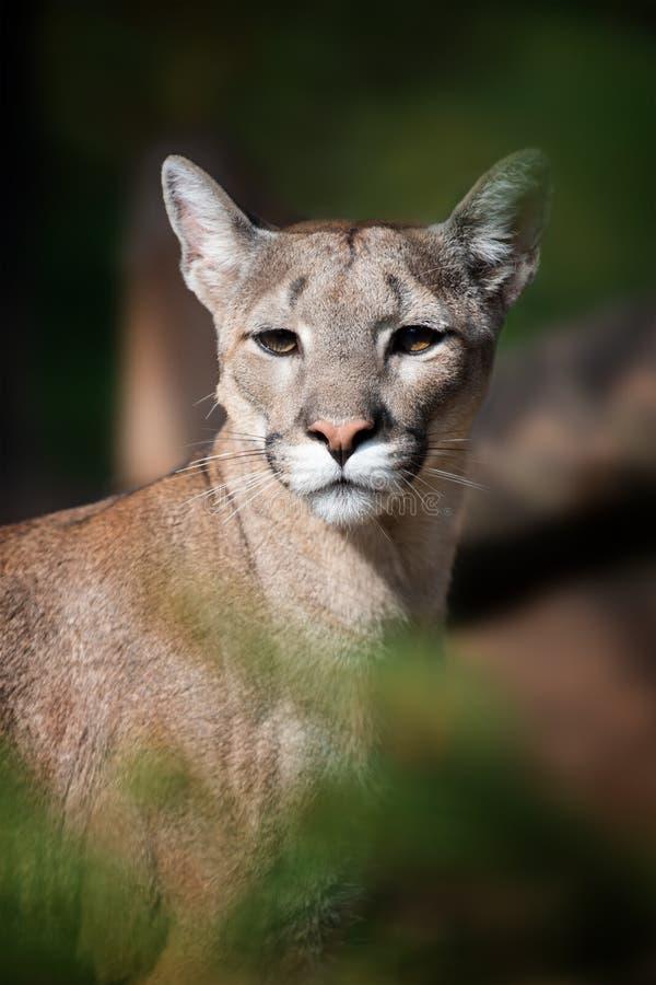 Πορτρέτο ενός cougar, λιονταριού βουνών, puma στοκ φωτογραφία με δικαίωμα ελεύθερης χρήσης