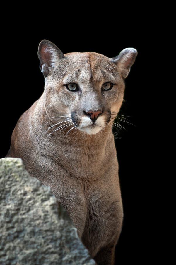 Πορτρέτο ενός cougar, λιονταριού βουνών, puma στοκ εικόνες με δικαίωμα ελεύθερης χρήσης