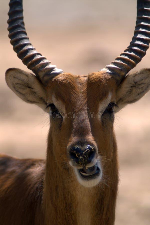 Πορτρέτο ενός gazelle & x28 springbok& x29  στοκ φωτογραφίες