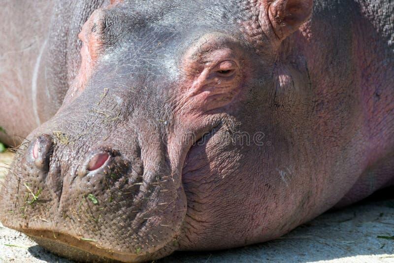 Πορτρέτο ενός Hippopotamus που έχει ένα υπόλοιπο στοκ φωτογραφίες με δικαίωμα ελεύθερης χρήσης
