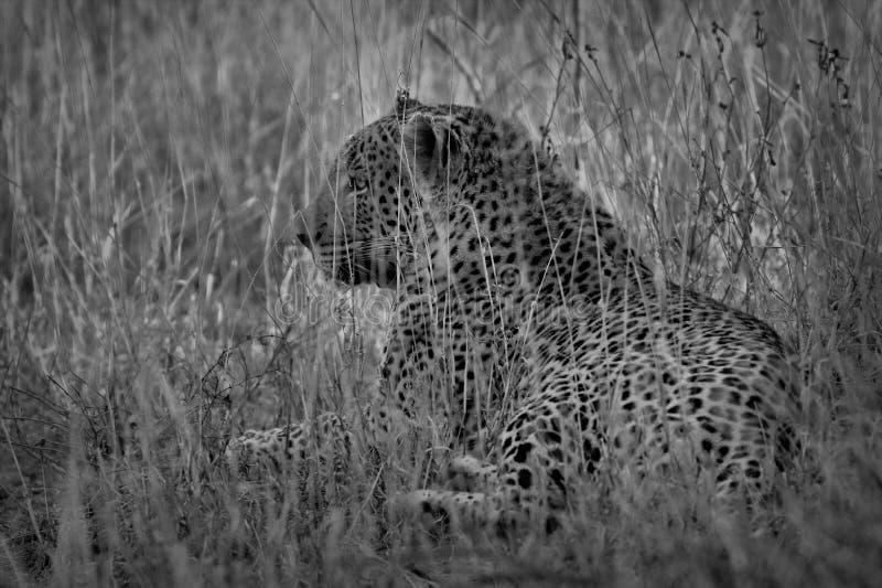 Πορτρέτο ενός pardus Panthera λεοπαρδάλεων, εθνικό πάρκο Kruger, Νότια Αφρική στοκ φωτογραφίες με δικαίωμα ελεύθερης χρήσης