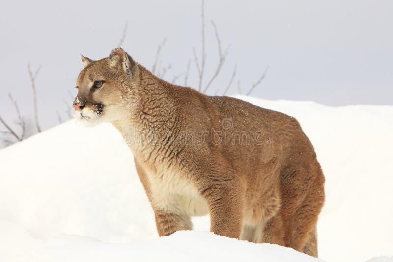 Πορτρέτο λιονταριών βουνών στοκ εικόνες με δικαίωμα ελεύθερης χρήσης