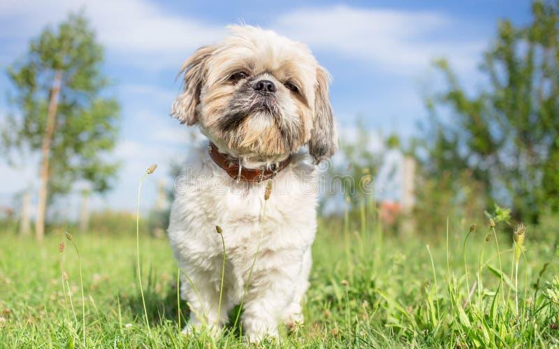 Πορτρέτο κήπων σκυλιών Tzu Shih στοκ εικόνες