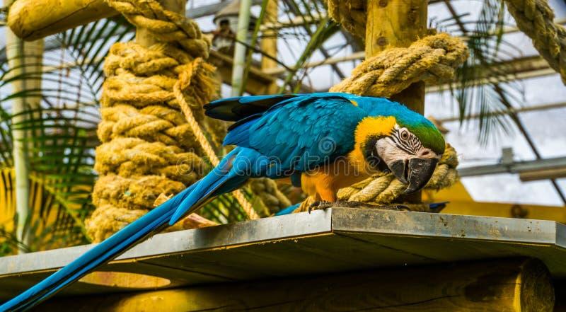 Πορτρέτο κινηματογραφήσεων σε πρώτο πλάνο ενός μπλε και κίτρινου παπαγάλου macaw, δημοφιλές τροπικό κατοικίδιο ζώο από την Αμερικ στοκ εικόνες με δικαίωμα ελεύθερης χρήσης