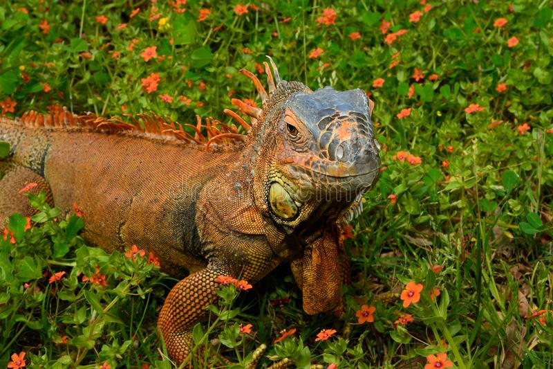 Πορτρέτο κινηματογραφήσεων σε πρώτο πλάνο ενός iguana στοκ εικόνα με δικαίωμα ελεύθερης χρήσης