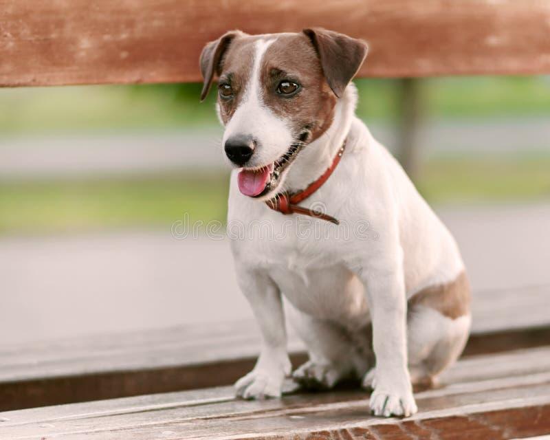 Πορτρέτο κινηματογραφήσεων σε πρώτο πλάνο μέσα της χαριτωμένης ευτυχούς μικρής άσπρης και καφετιάς συνεδρίασης τεριέ γρύλων σκυλι στοκ φωτογραφία με δικαίωμα ελεύθερης χρήσης