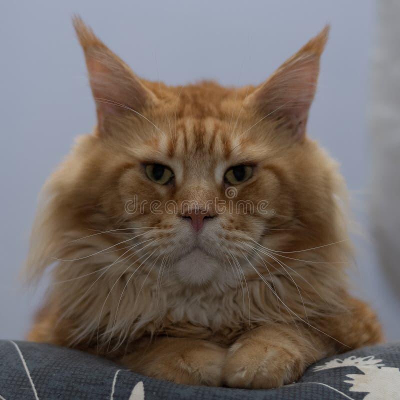 Πορτρέτο κινηματογραφήσεων σε πρώτο πλάνο της γάτας φυλής του Μαίην Coon, μεγάλη ενήλικη κόκκινη γάτα στοκ φωτογραφίες