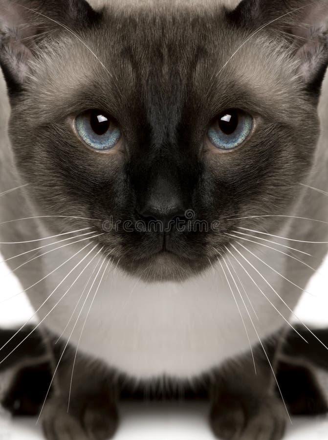 Πορτρέτο κινηματογραφήσεων σε πρώτο πλάνο της σιαμέζας γάτας, ενός έτους βρέφος στοκ φωτογραφία με δικαίωμα ελεύθερης χρήσης