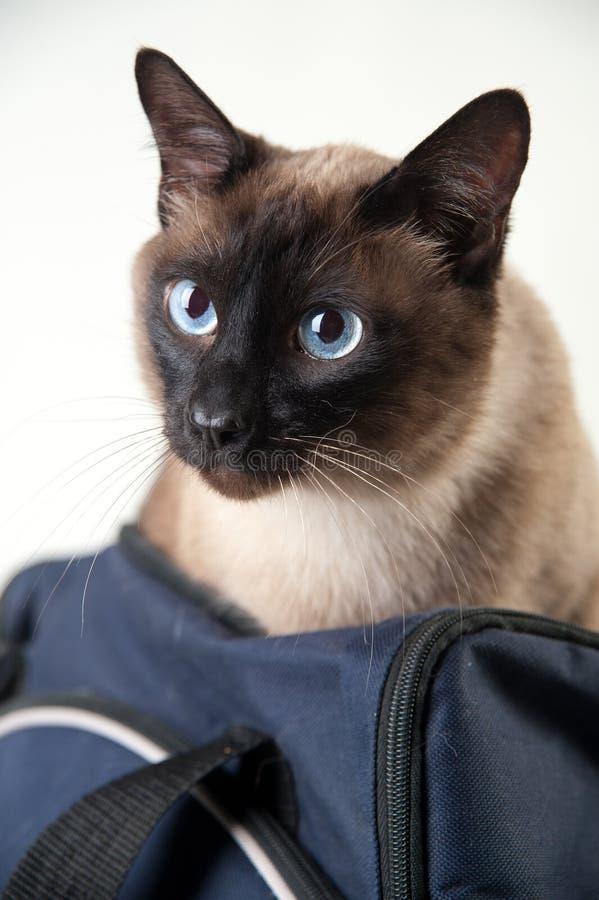 Πορτρέτο κινηματογραφήσεων σε πρώτο πλάνο της σιαμέζας γάτας στοκ φωτογραφία με δικαίωμα ελεύθερης χρήσης