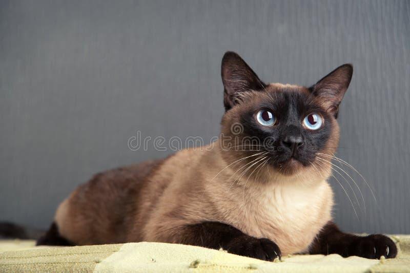 Πορτρέτο κινηματογραφήσεων σε πρώτο πλάνο της σιαμέζας γάτας στοκ εικόνα με δικαίωμα ελεύθερης χρήσης