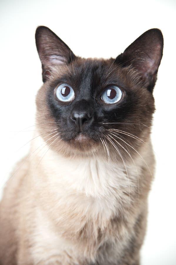 Πορτρέτο κινηματογραφήσεων σε πρώτο πλάνο της σιαμέζας γάτας στοκ φωτογραφίες