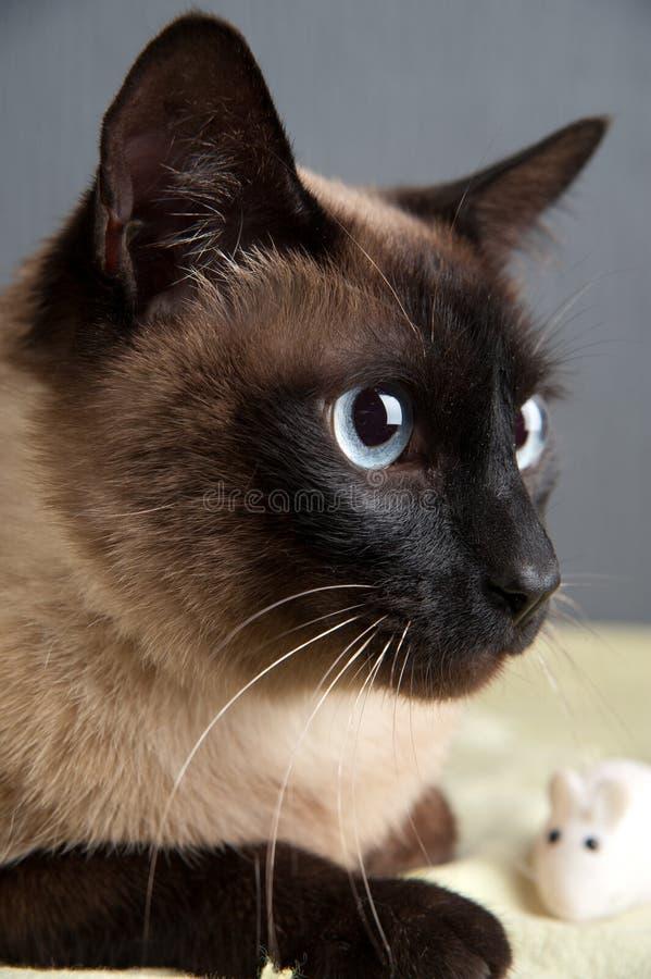 Πορτρέτο κινηματογραφήσεων σε πρώτο πλάνο της σιαμέζας γάτας στοκ φωτογραφίες με δικαίωμα ελεύθερης χρήσης