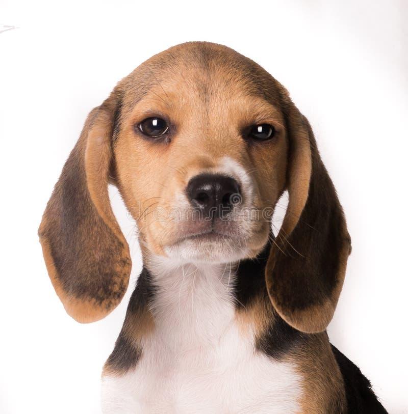 Πορτρέτο κινηματογραφήσεων σε πρώτο πλάνο του κουταβιού σκυλιών λαγωνικών που εξετάζει τη κάμερα απομονωμένου στο άσπρο bakcgroun στοκ εικόνες με δικαίωμα ελεύθερης χρήσης