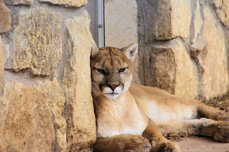 Πορτρέτο κινηματογραφήσεων σε πρώτο πλάνο του λιονταριού βουνών Puma στοκ εικόνα