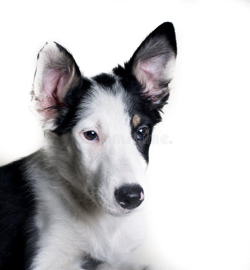 Πορτρέτο κινηματογραφήσεων σε πρώτο πλάνο τσοπανόσκυλων σκυλιών κόλλεϊ συνόρων που απομονώνεται στο άσπρο υπόβαθρο στοκ φωτογραφίες με δικαίωμα ελεύθερης χρήσης