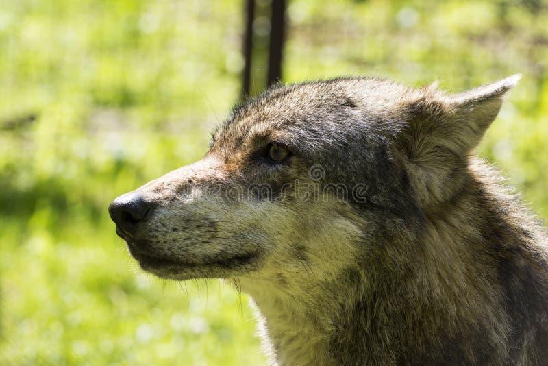 Πορτρέτο κινηματογραφήσεων σε πρώτο πλάνο ενός λύκου στοκ φωτογραφίες